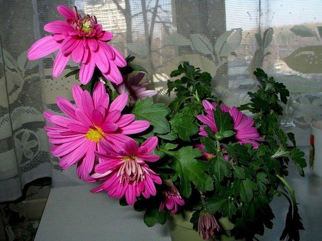 Как же ухаживать за хризантемой?