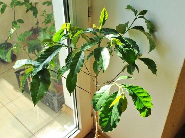 Кофейное деревце рекомендуется размещать на окнах