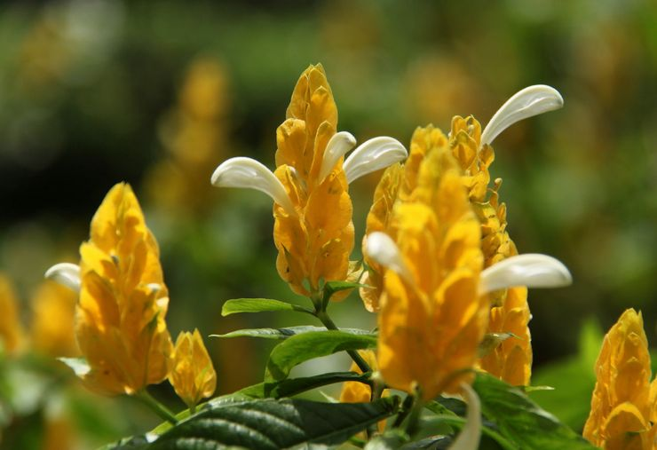 Растение пахистахис