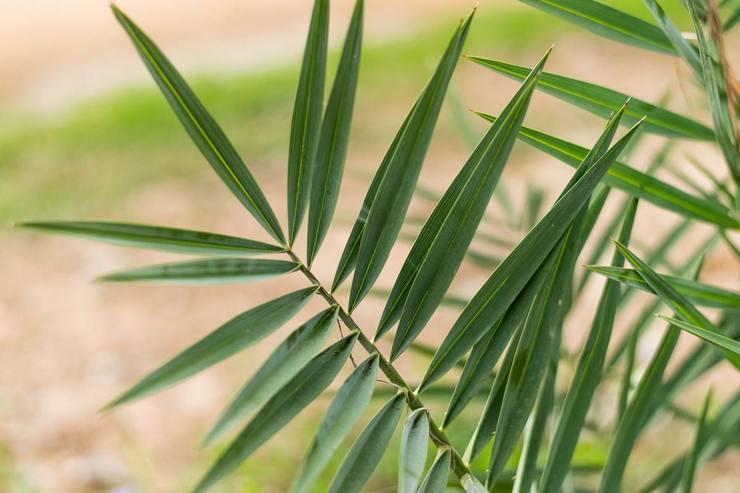 Описание финиковой пальмы