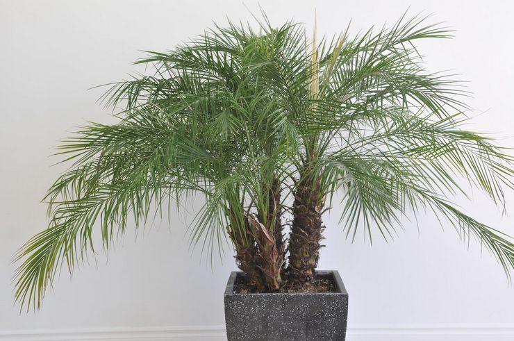 Будет ли пальма плодоносить дома?