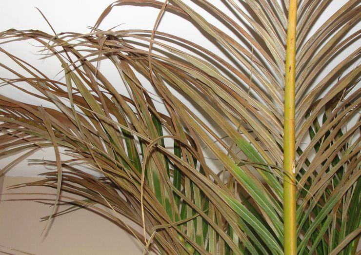 Трудности при выращивании финиковой пальмы