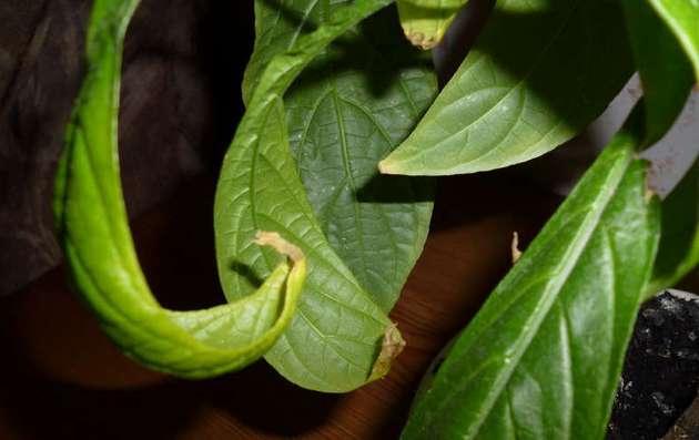 Сухие кончики листьев и их скручивание