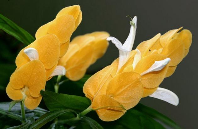 пахистахис выращивание и уход в домашних условиях