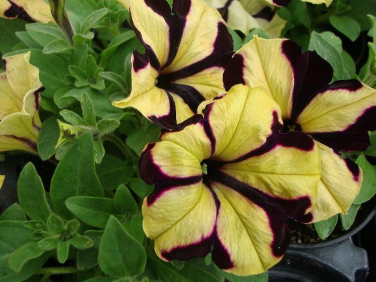 Обильноцветущая петуния (флорибунда)