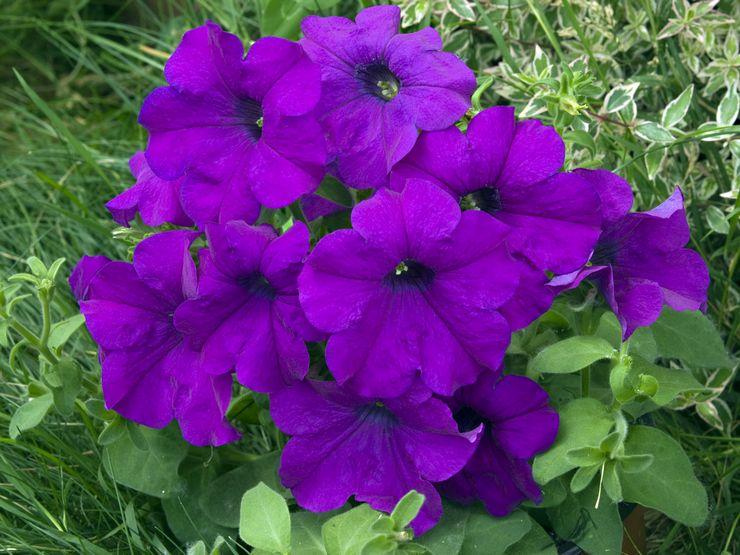 Крупноцветковая петуния (грандифлора)