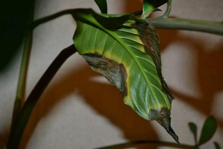 Листья чернеют у спатифиллума