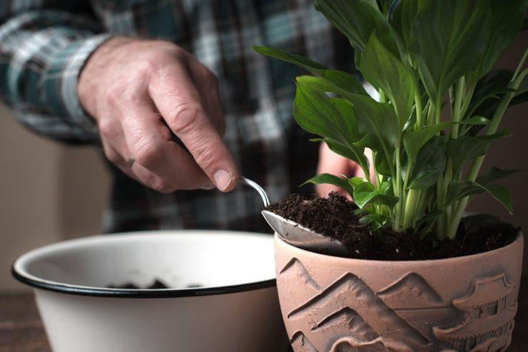 Выращивание спатифиллума
