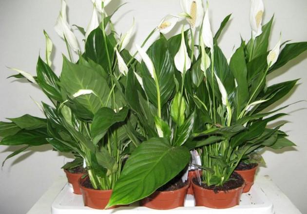 Цветок спатифиллум (уход и выращивание)