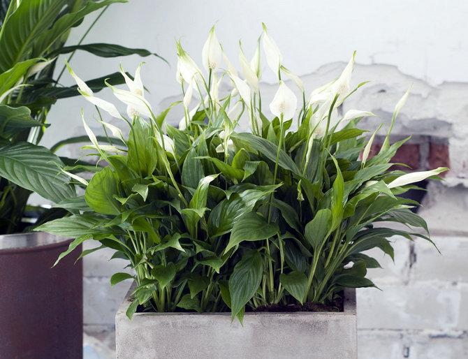 Цветок спатифиллум – уход в домашних условиях. Выращивание спатифиллума, пересадка и размножение. Описание. Фото