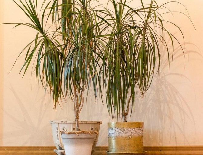 Пересадка «драконьего дерева» производится каждые 2-3 года в весенний период