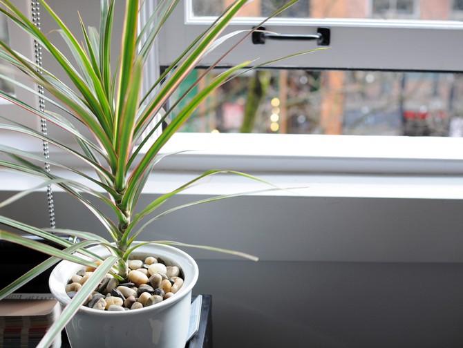 Уход и выращивание драцены в домашних условиях