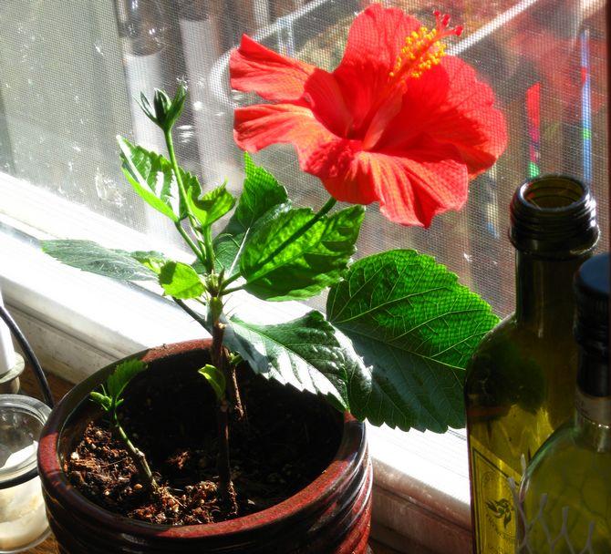 Молодые растения необходимо пересаживать каждый год.