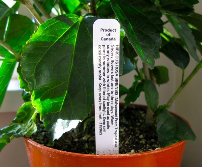 Почву для выращивания гибискуса нужно использовать питательную и легкую, она должна быть близкой к нейтральной (pH примерно 6).