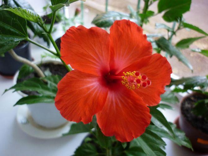 Гибискус нуждается в частом опрыскивании, поскольку цветок обожает повышенную влажность.