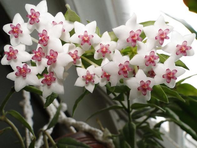 Купание не только отлично закаляет растение, но и ускоряет период цветения
