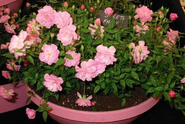 с наступлением жаркого сезона цветок лучше выставить на балкон