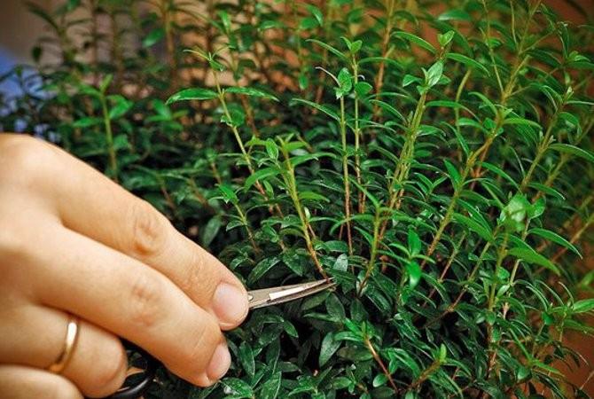 Для мирта обрезка — это возможность кардинально изменить форму растения и проводить ее лучше всего весной.