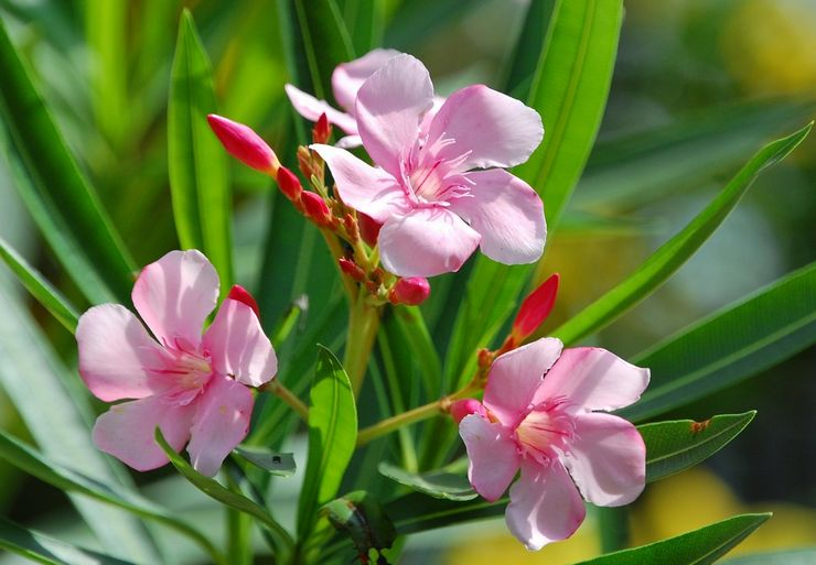 Цветение олеандра