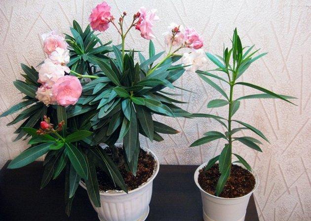 Комнатные цветы олеандр
