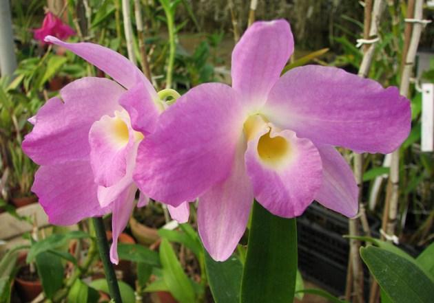 Очень важно правильно выбрать место для орхидеи.