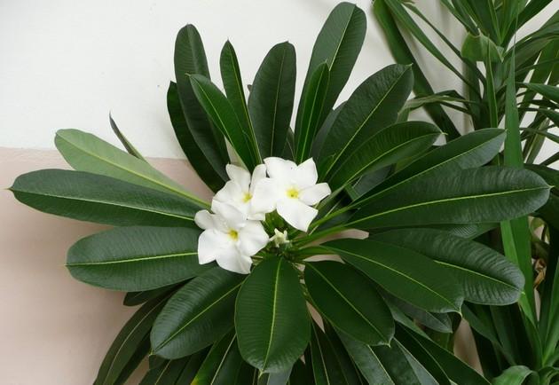 За правильный уход через 6-7 лет пахиподиум вознаградит вас своим цветением