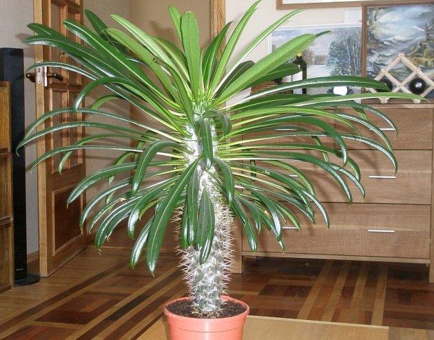 «мадагаскарская пальма» легко переносит и небольшую полутень, и прямой солнечный свет