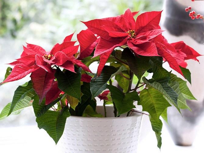 Цветок пуансеттия – уход в домашних условиях. Как ухаживать. Рождественский цветок. Описание. Фото