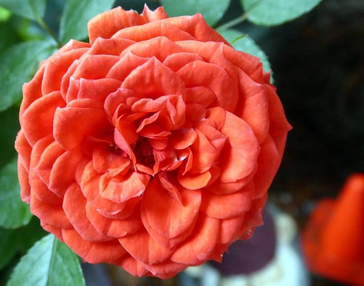 Роза Файер Принцесс