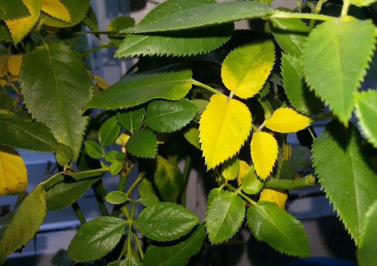 Листья желтеют у комнатной розы