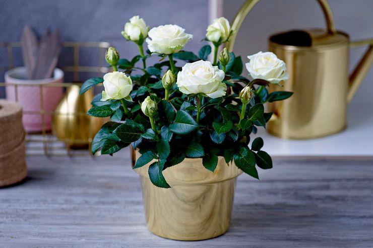 Комнатная роза после покупки