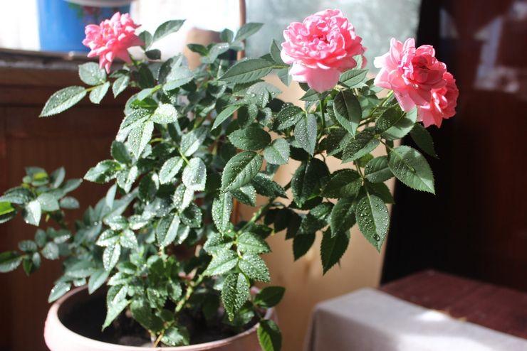 Режим полива комнатной розы