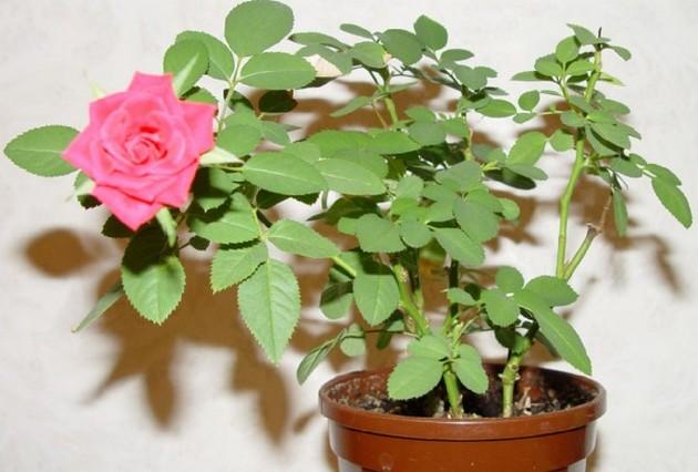Роза комнатные цветы
