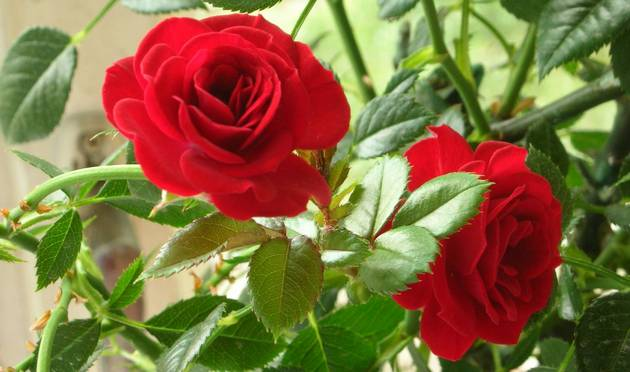 Комнатная миниатюрная роза
