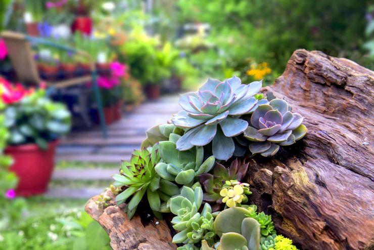 Уход за каменной розой в саду
