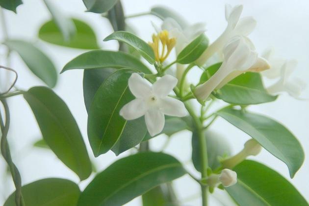 В доме чаще всего выращивается стефанотис обильноцветущий