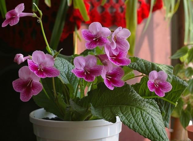 Стрептокарпус - травянистое, цветущее растение