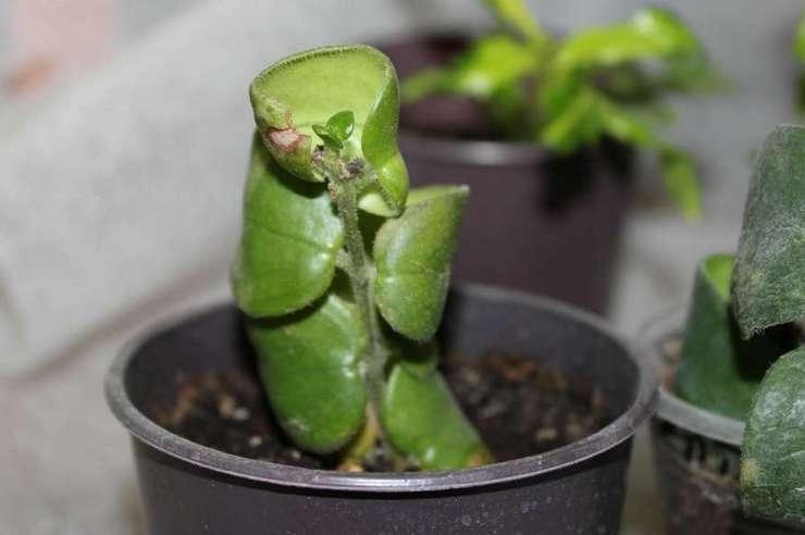 Возможные проблемы выращивания эсхинантуса