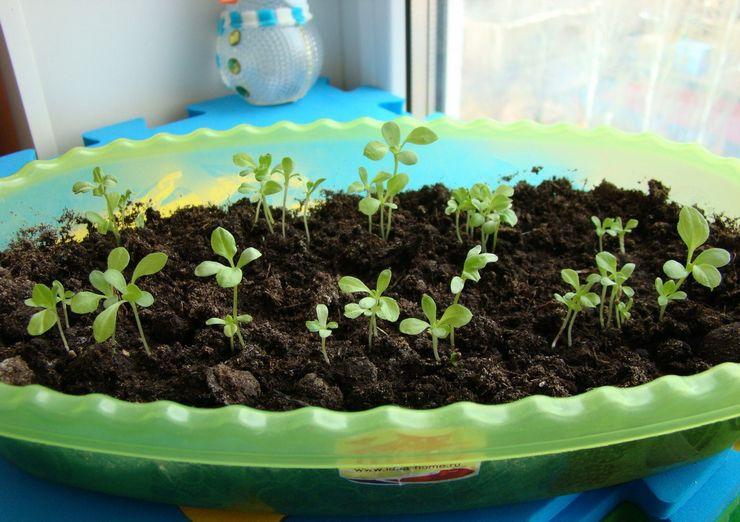 Посев семян астр на рассаду