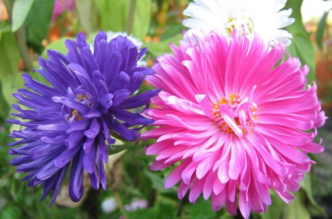 Цветок астра. Посадка и выращивание. Уход за астрами в саду