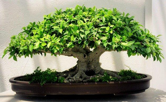 Какое растение выбрать для комнатного бонсай новичку