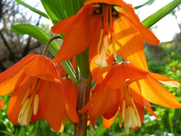 Цветы рябчики в фото