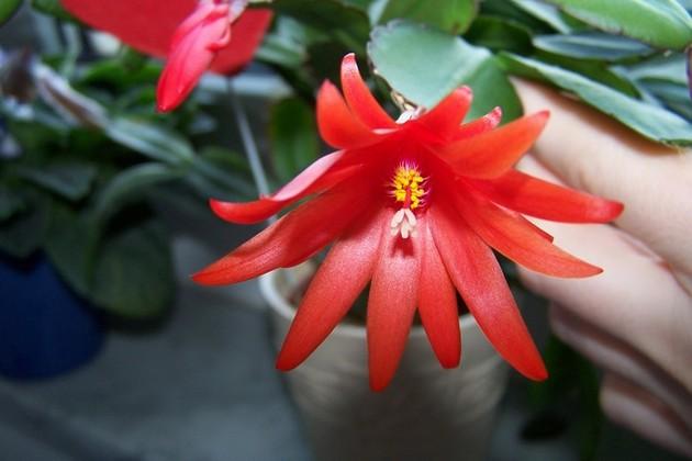 Самый насыщенный оттенок цветка формируется при стабильной комнатной температуре +18