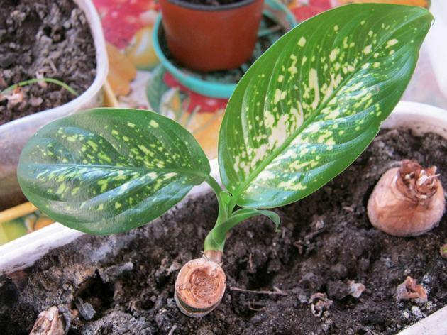 нужно только срезать стебель и ждать, когда из маленького 10 см пенечка вырастет новое растение