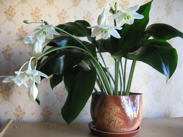 Эухарис. Уход дома. Пересадка и подкормка растения ...: http://flowertimes.ru/euxaris/