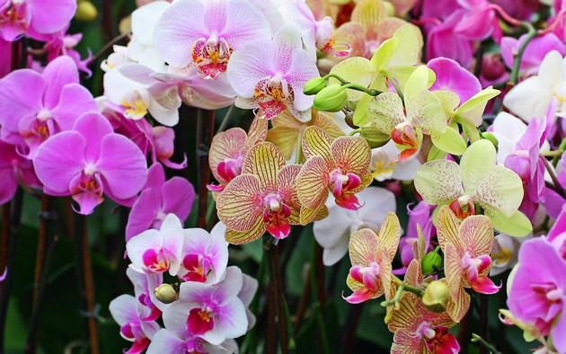 Фаленопсис принадлежит к числу самым распространённых представителей орхидных