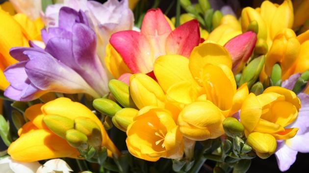 Выращивание и уход за фрезиями 17