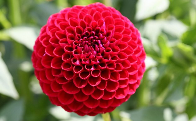 Что георгины – это бабушкины цветы