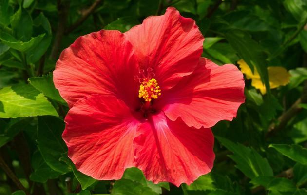 Цветы гибискус где купить