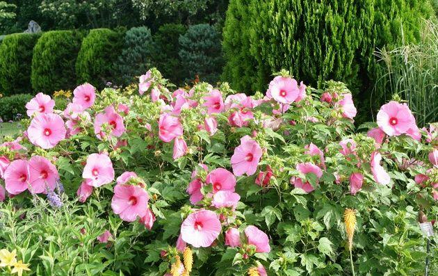 Также обрезают растение не только с целью создания пышного цветения, но и для формирования декоративной формы кусту